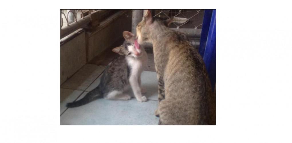 แม่แมว